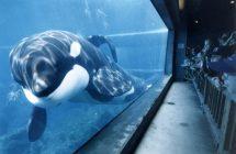 Keiko: The Untold Story: la vérité sur l'orque vedette de Free Willy