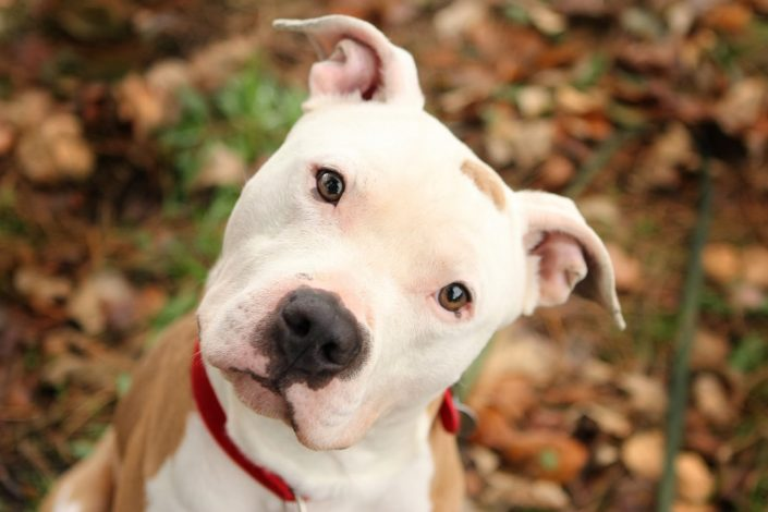 Les pitbulls sont-ils des chiens dangereux?
