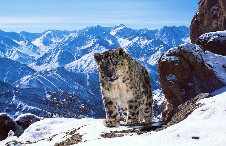 Panthère des neiges - Uley, Ladakh, Inde