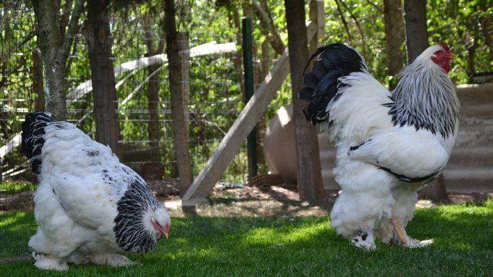 Après Knickers la vache géante, rencontrez Merakli le coq colossal!