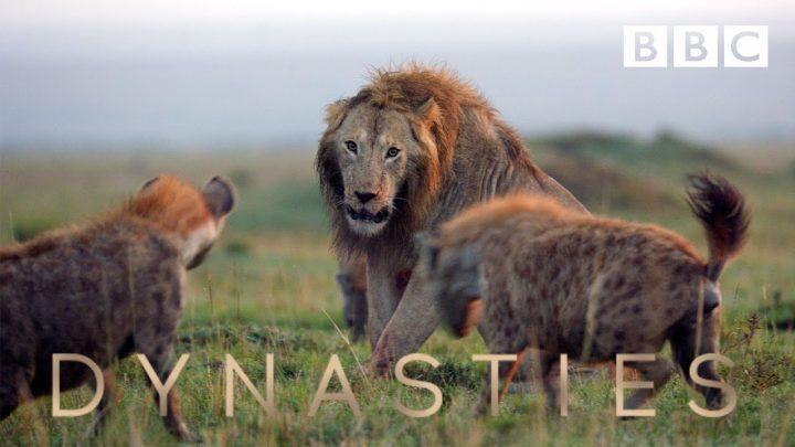 Dynasties: images impressionnantes d'un lion contre plus de 20 hyènes